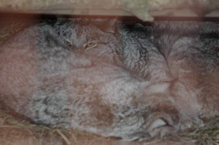 A Pair of Lynx Parents.