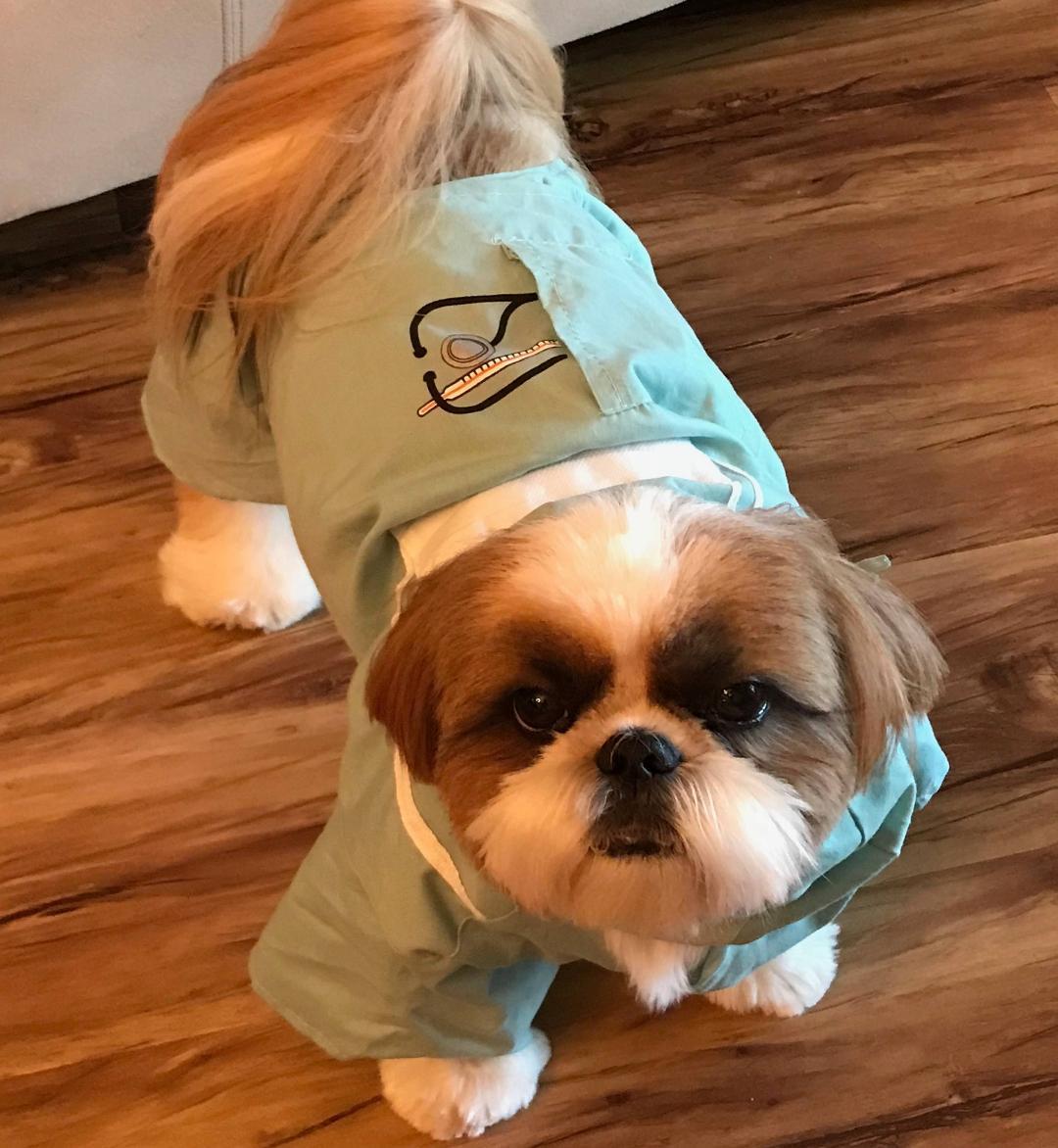 Devalon Shih Tzu | Breeders Puppies for Sale Florida