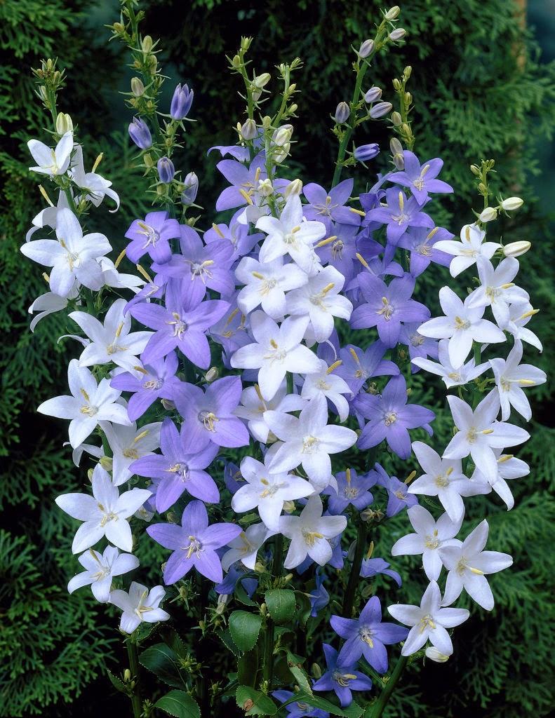 Piante e fiori piante perenni che fioriscono in estate a for Perenni da giardino
