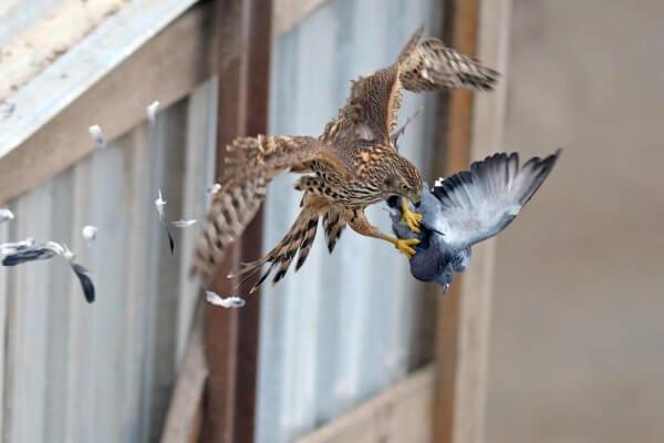сапсан охотится на голубя