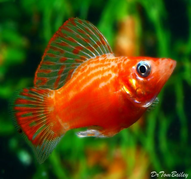 Ikan Hias Aquarium Mini Yang Cantik Dan Tidak Mudah Mati