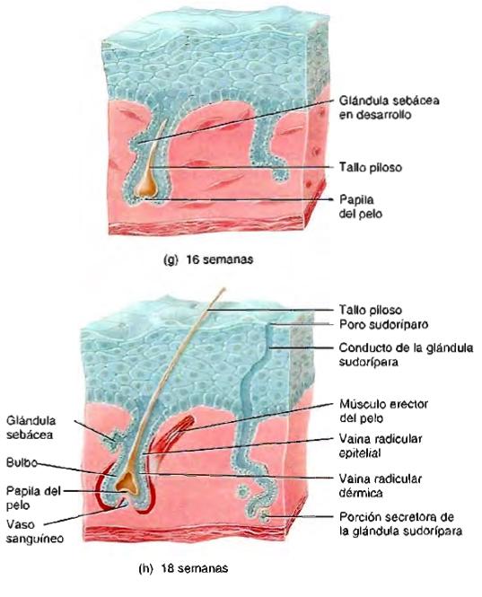 Desarrollo del sistema tegumentario y envejecimiento de la piel