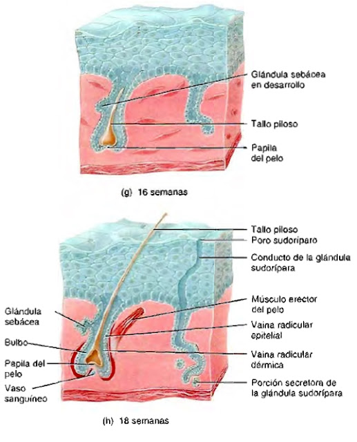 Sistema tegumentario piel tallo piloso