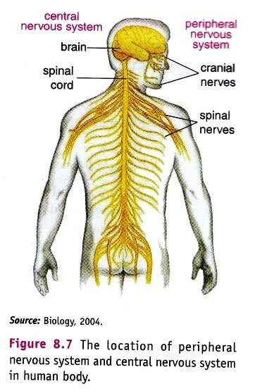 central nervous system and the peripheral nervous system The peripheral nervous system is a channel for the relay of sensory and motor impulses between the central nervous system on one hand and the body surface, skeletal muscles, and internal organs on the other hand.