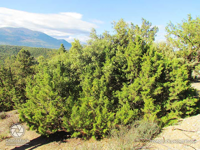 Juniperus phoenicea - Genévrier rouge - Arar