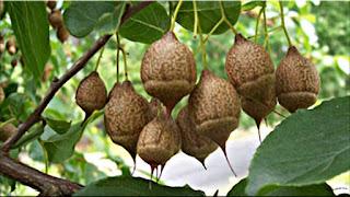 gambar buah xylocarpus