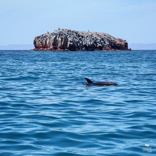 delfin en isla espiritu santo