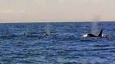 Orcas im Süden von Teneriffa