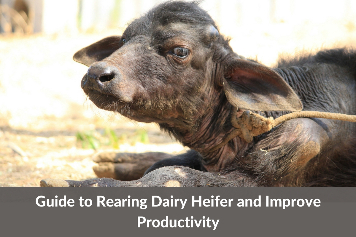 8 Inexpensive Ways of Rearing Heifers at Your Dairy Farm