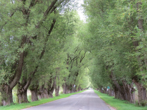 Eastlake Road tunnel of trees