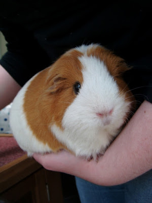 guinea pig death pet grief