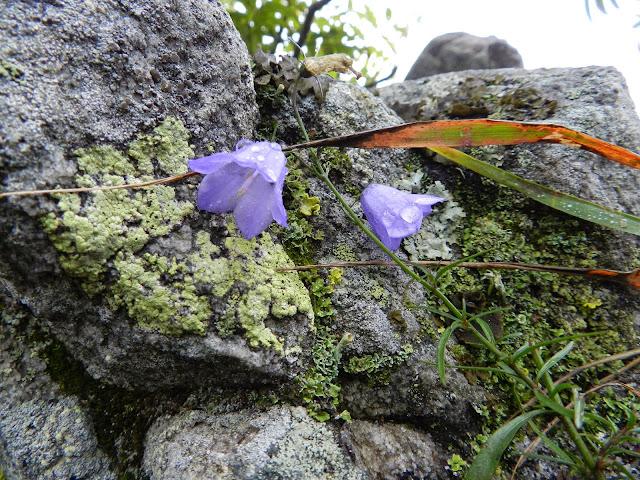 Колокольчики на вершине горы Двуглавая сопка