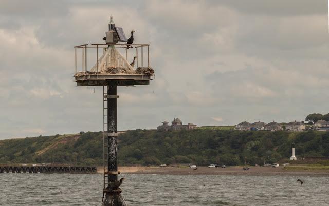 Photo of cormorants nests on a navigational buoy