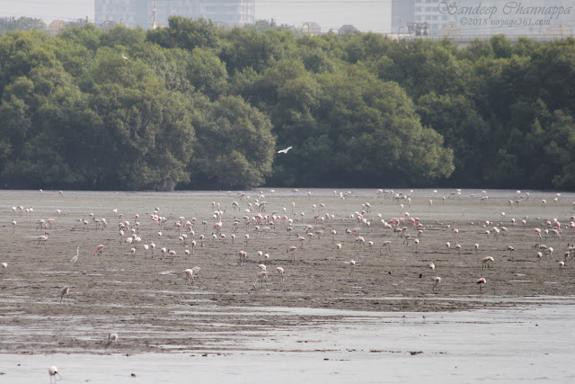 Flamingos around the mudflats of Sewri Jetty