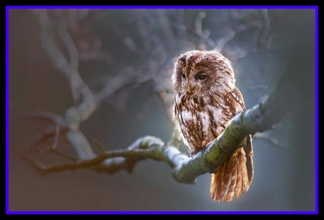 OWL ,NIGHT,BRANCH,