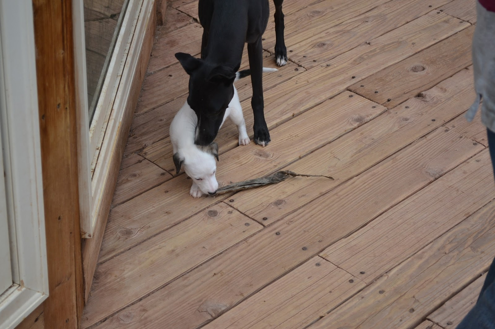 Horsetooth Whippets: P...