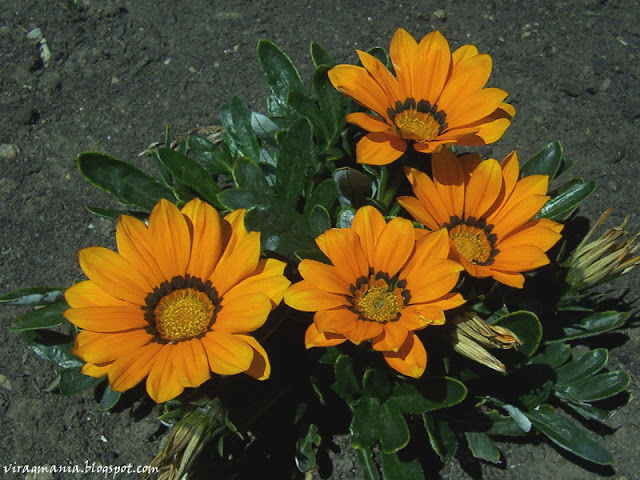 Napsugár virág