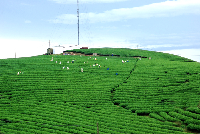 Green tea fields in Moc Chau Plateau