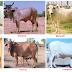 Bovine animals in Rajasthan राजस्थान में गौ-वंश - (राजस्थान में पशुधन)