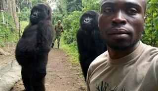 Γορίλες πόζαραν όρθιοι για μια selfie με τους διασώστες τους
