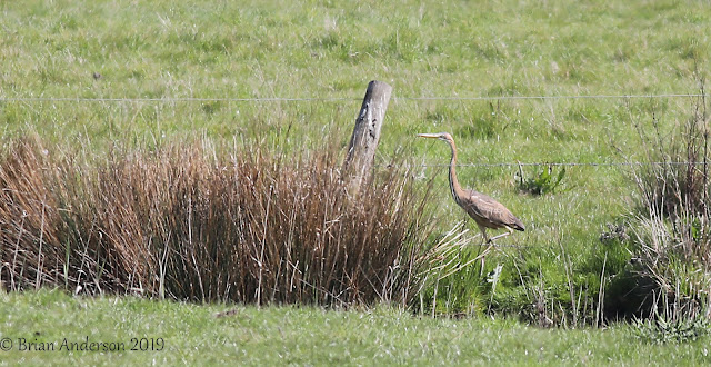Purple Heron at Burnham