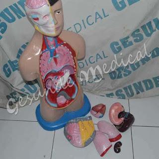 agen anatomi tubuh manusia