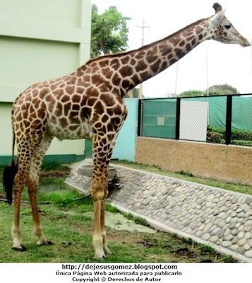 Foto de una jirafa de cuerpo completo por Jesus Gómez