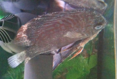 Discus fish diseases discus fish types for Fish diseases pictures
