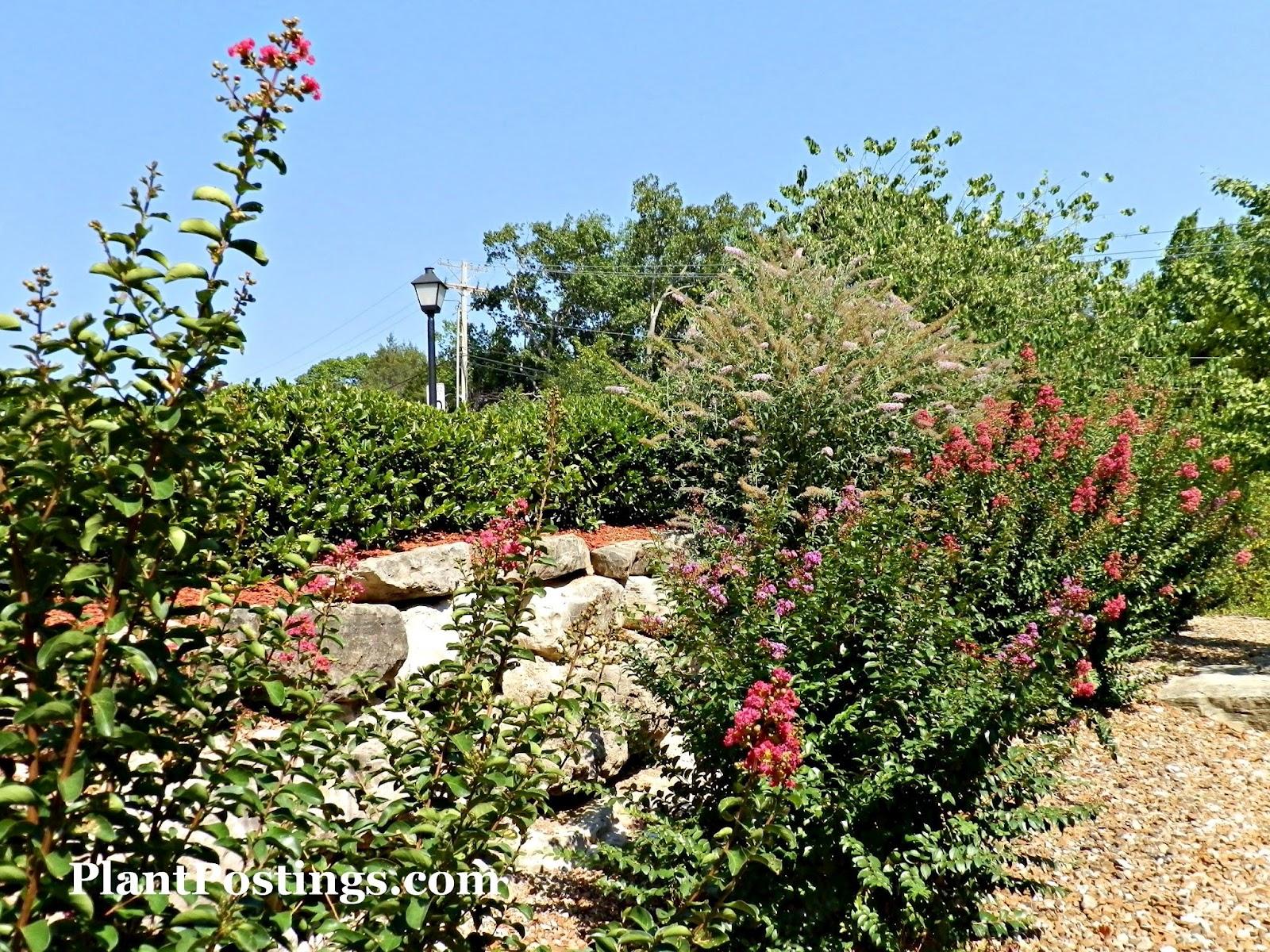 PlantPostings: Plant of the Month: Crape Myrtle