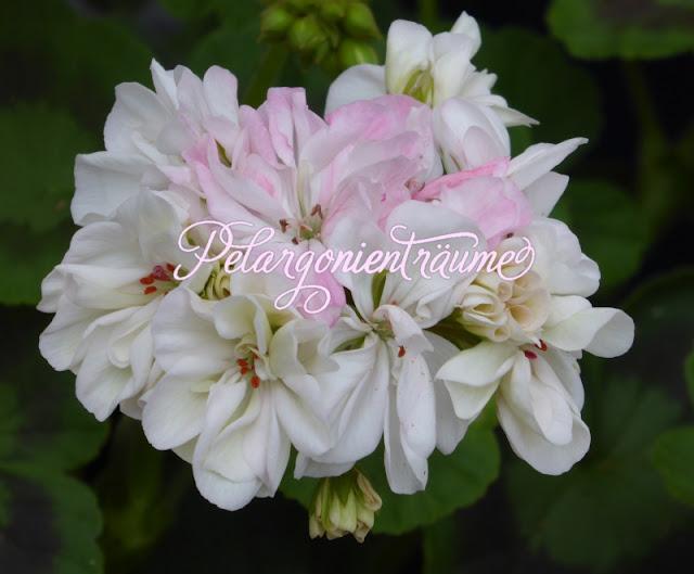 schwedische-Pelargonien-Pelargonie-weiß-rosé