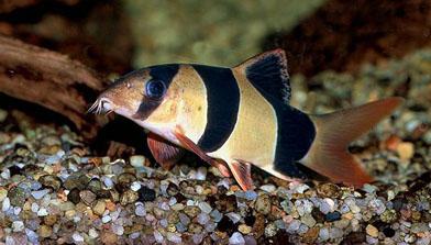 pirana aquarium pesci tropicali d 39 acqua dolce il botia