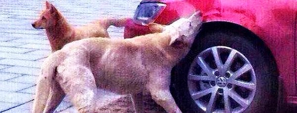 watch how this stray dog took his revenge on the car driver who kicked him by busting his car in China with his friends via geniushowto.blogspot.com funny dog pictures