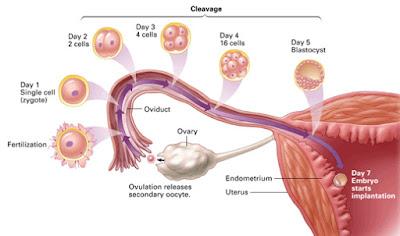 Proses Terjadinya Kehamilan Secara Singkat, proses terjadinya kehamilan setelah berhubungan intim proses terjadinya kehamilan secara biologi