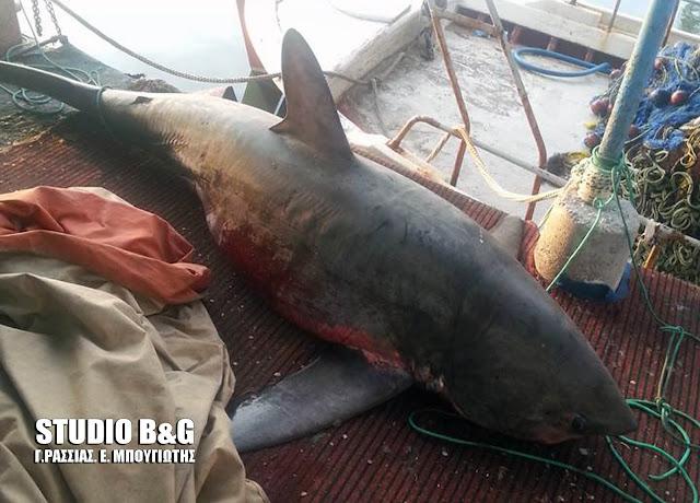 Αργολίδα: 4 μέτρα καρχαρία έπιασε ψαράς στη Νέα Κίο