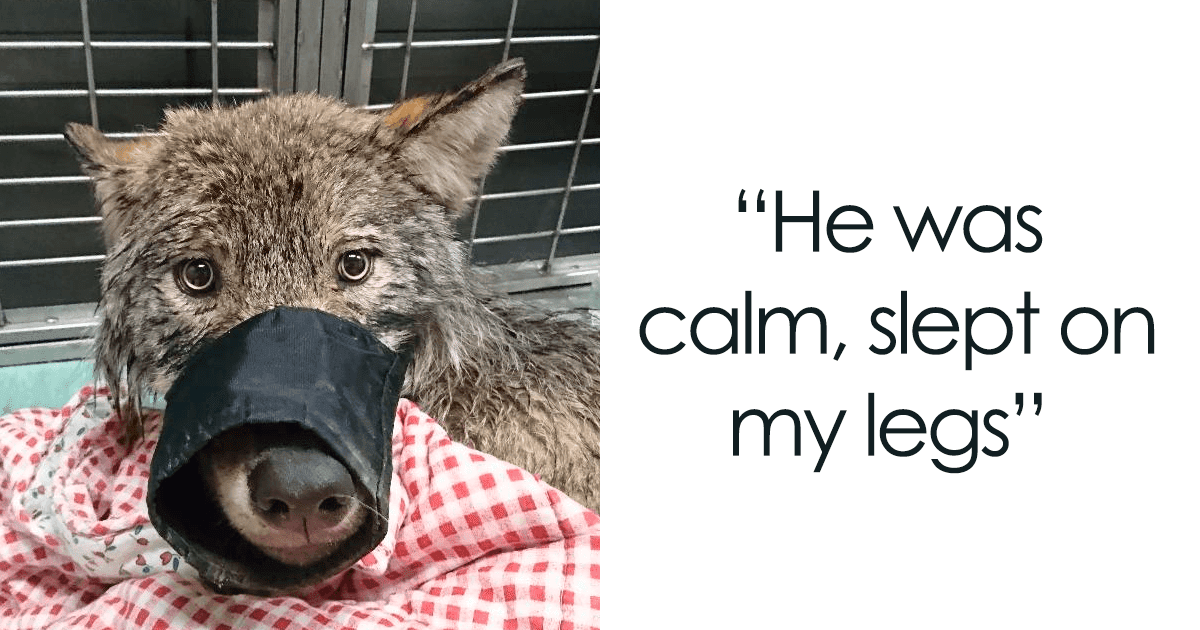 Two Workers In Estonia Saved A Wolf From Frozen Lake, Thinking It Was A Dog