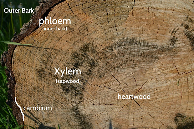 Gc6vm00 Xylem And Phloem Container Mischief #3