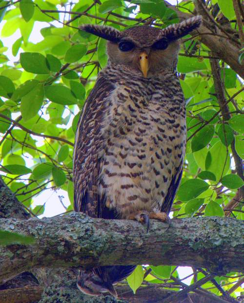 Indian birds - Picture of Spot-bellied eagle-owl - Bubo nipalensis