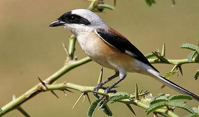 Burung Pendet/Plentet
