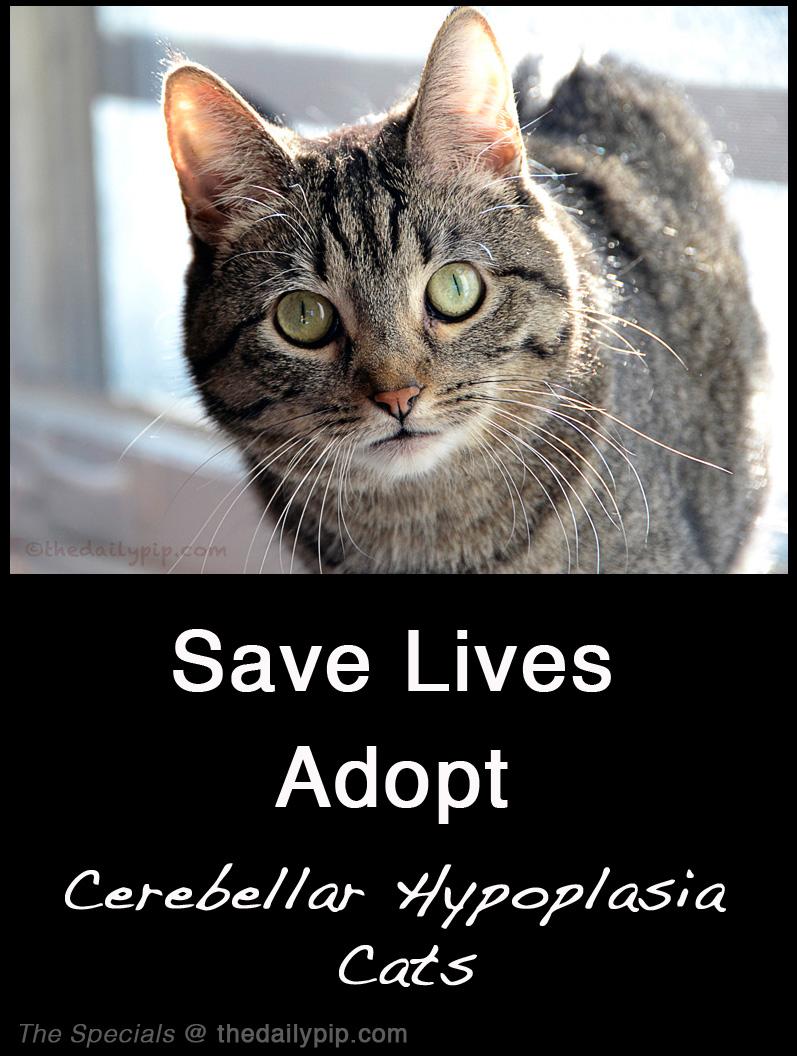 special needs cat adoption