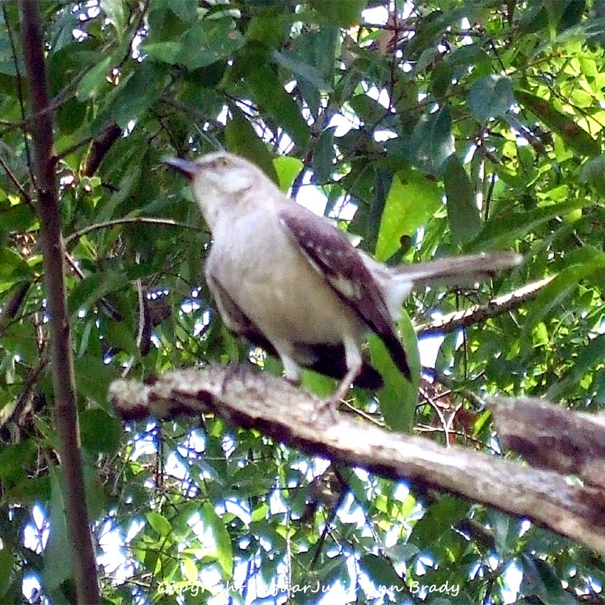 Adult Mockingbird Protective Behavior 15