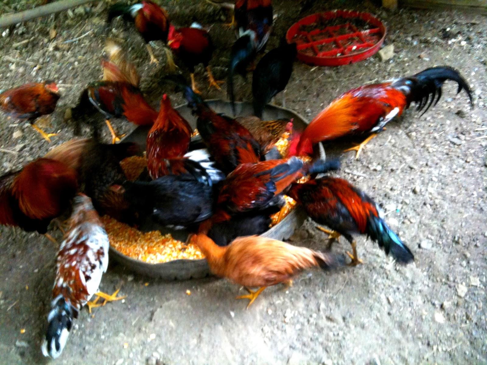 Resultado de imagen para vitaminas naturales para gallos de pelea