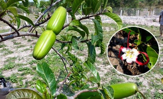 Cây Sừng Dê hoa đỏ - Strophanthus caudatus - Nguyên liệu làm thuốc Chữa bệnh Tim