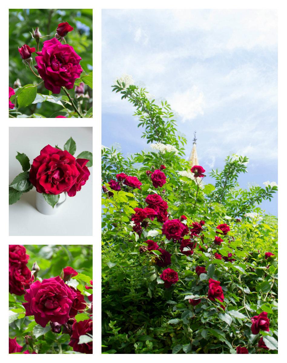 popote et nature cuisiner avec les roses du jardin une gourmandise d guster tout au long de l. Black Bedroom Furniture Sets. Home Design Ideas
