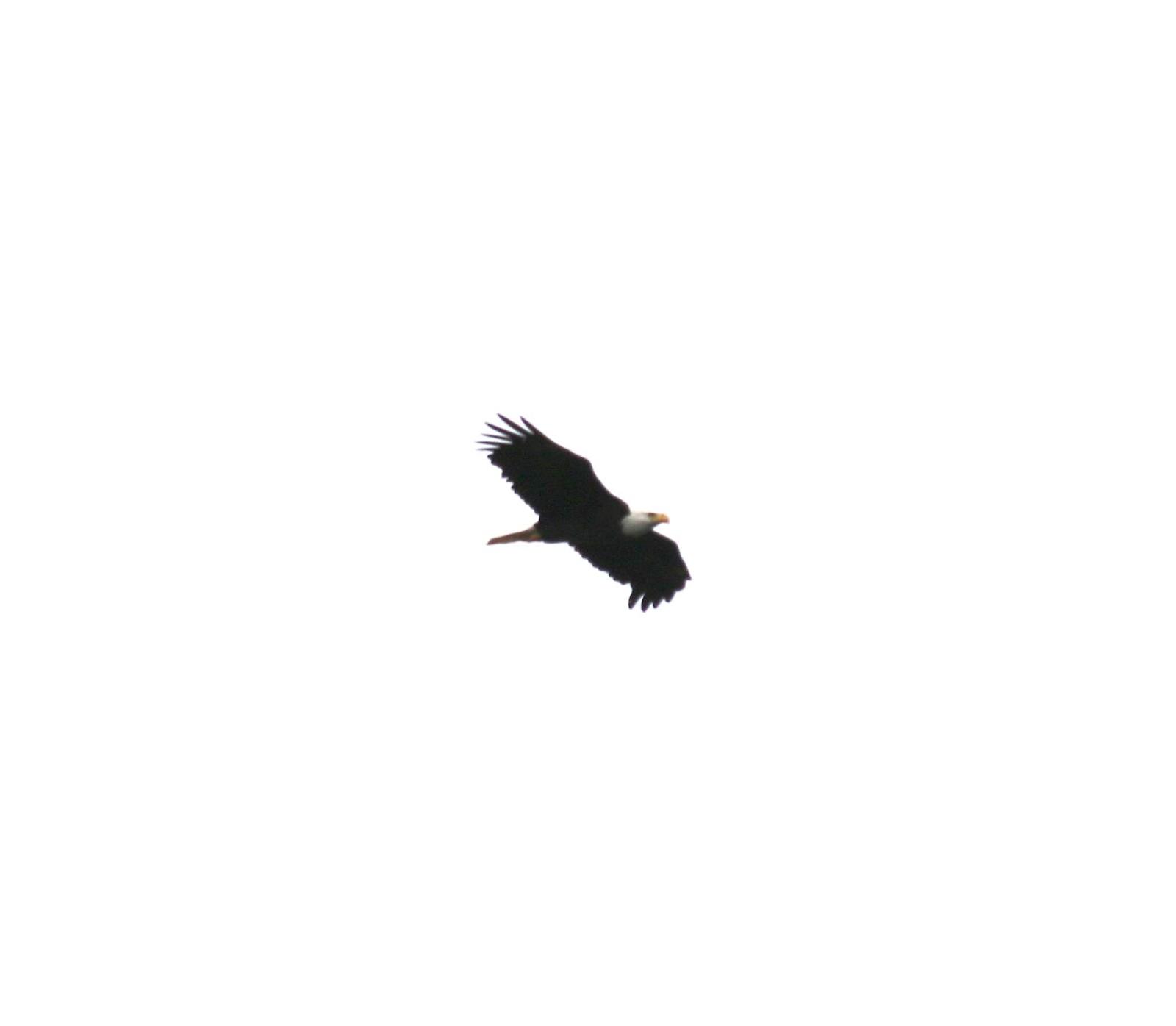 Allegheny Front Hawk Watch: Stunning Overlook for Bird