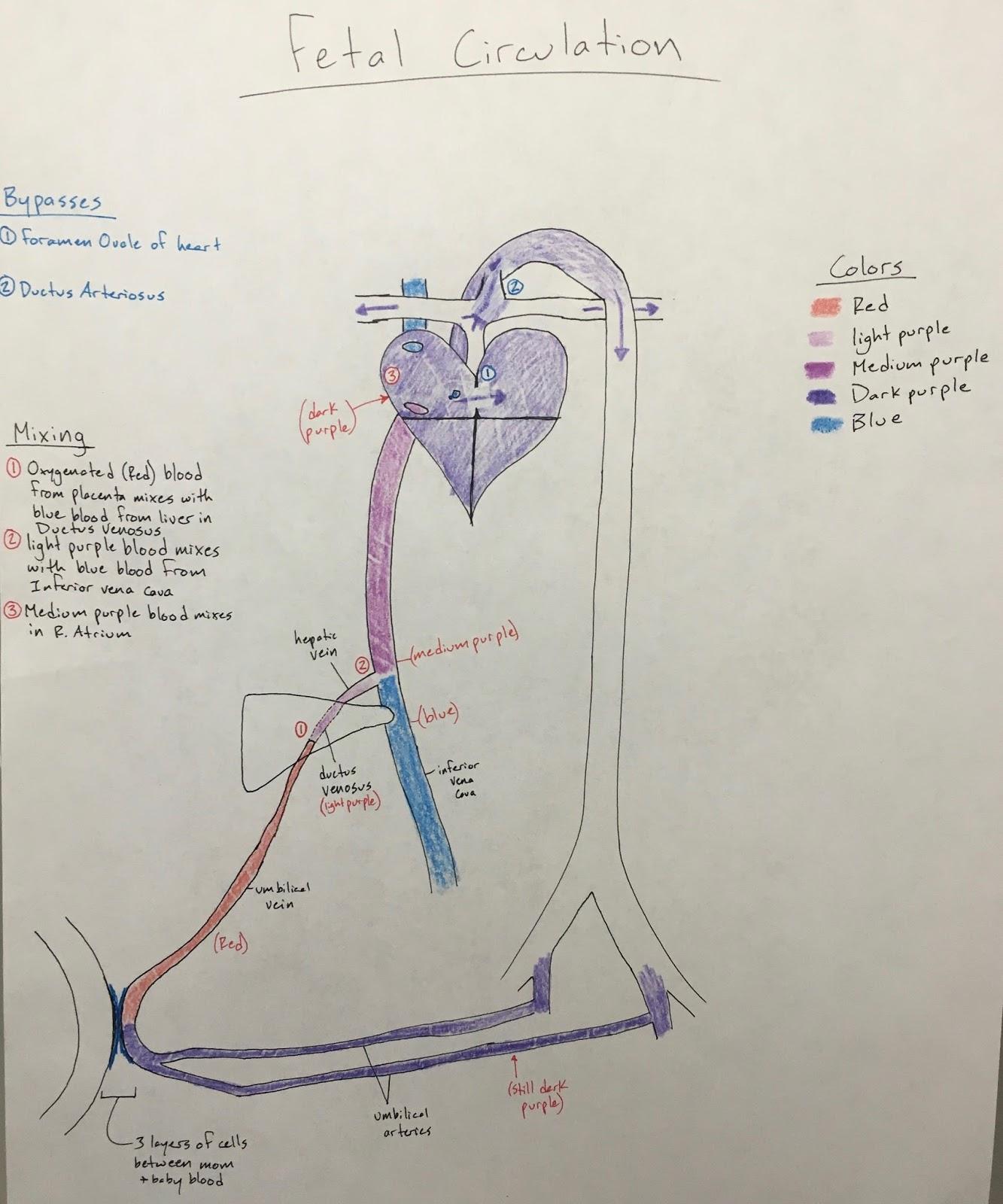 Chapter 15 - Cardiovascular | Breaking UVU Anatomy