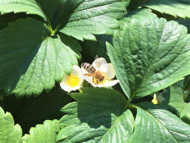 Bienen auf Erdbeere