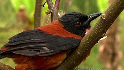 10 อันดับสัตว์, จัดอันดับ, ชีวิตสัตว์, สัตว์มีพิษ, สิบอันดับสัตว์, นกพิทุย (Pitohui Bird)