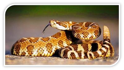 ular derik hewan pembunuh gurun pasir