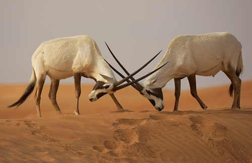 Are not asian gazelle species can