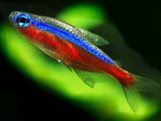 jenis-jenis ikan hias air tawar terindah